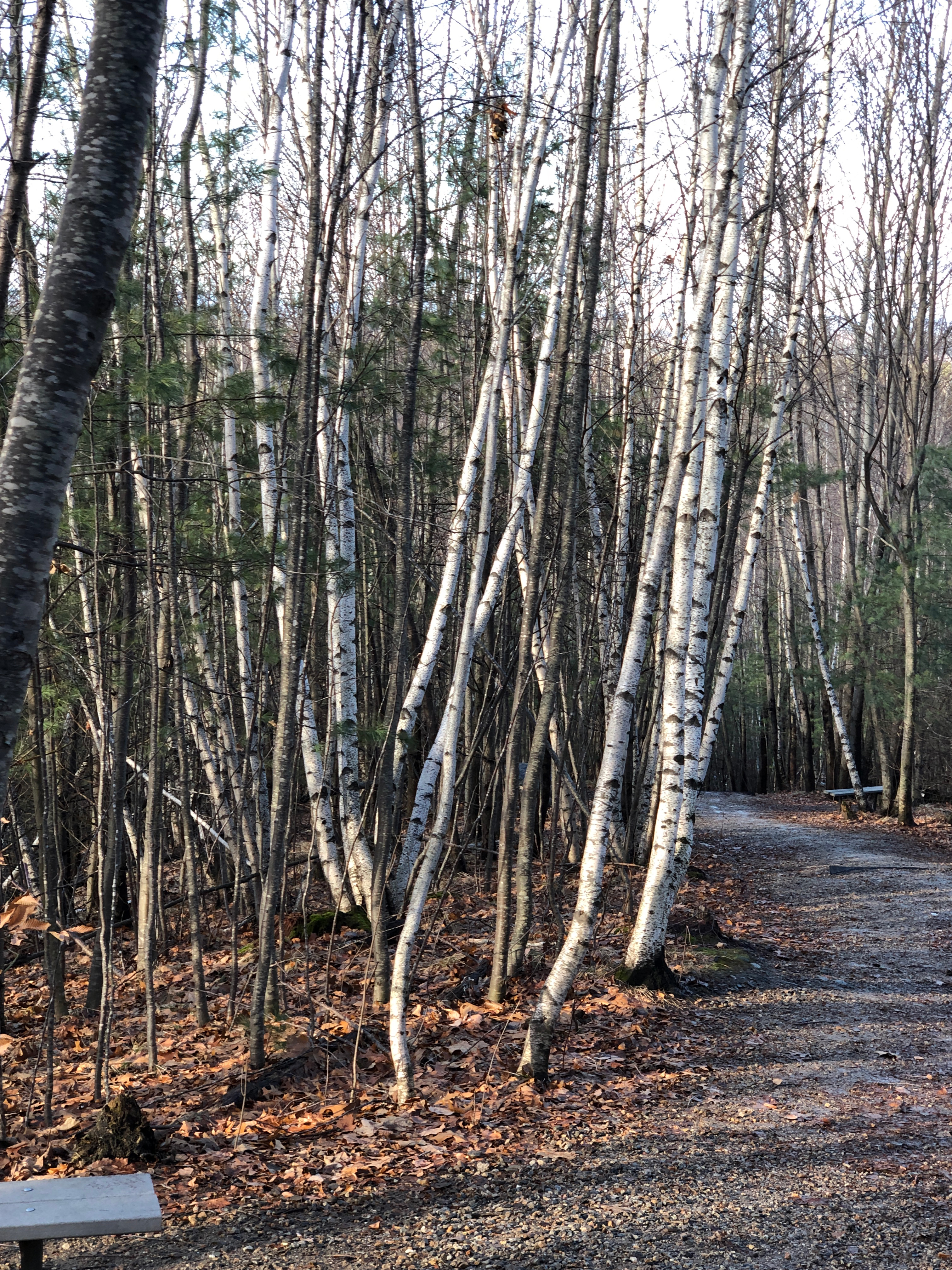 birch trees in NH